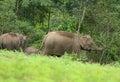 Asian elephant elephas maximus beautiful family of at khao yai national park thailand Stock Photos