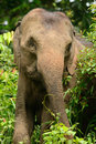 Asian elephant elephas maximus beautiful female at khao yai national park thailand Stock Photos