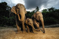 The asian elephant family thailand Royalty Free Stock Photos