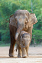 Asian elephant familys walking 4 Royalty Free Stock Photo