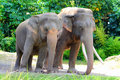 Asian Elephant pair Royalty Free Stock Images