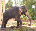 An Asian elephant striking a pose. Stock Image