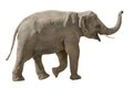 Asian elephant walking and raising his trunk in a cheerful way isolated on white Royalty Free Stock Photo