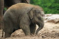 Asian elephant the young in the soil Stock Photos