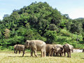 Asian elephants gather together at the Elephant Nature Park in Northern Thailand. Royalty Free Stock Photo