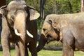 Asian elephants in Prague zoo Royalty Free Stock Photo