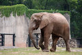Asian elephants in the zoo zoo,walking leisurely Royalty Free Stock Photography