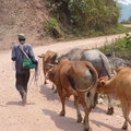 Asian farmer with cows farmers man cattle walking on the street Royalty Free Stock Images