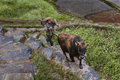 Asian farmer holding a bridle brown bull, climbing uphill.
