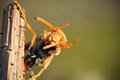 Asian giant hornet an orange waving up Royalty Free Stock Photography