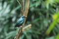 Asian glossy starling the sitting on the branch Stock Images