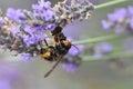 Asian hornet killing a bee Royalty Free Stock Photo
