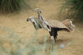 Asian houbara bustard taking off from the ground Stock Photo