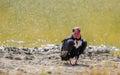 Asian king vulture sarcogyps calvus or red headed or black at bandhavgarh national park india Royalty Free Stock Image