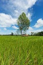 Asian landscape with ricefield nature blue sky and cumulus clouds Royalty Free Stock Photos