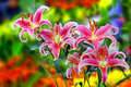 Asian Lilies Royalty Free Stock Photography