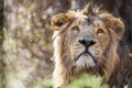 Asian lion male in zoo Stock Photography