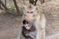 Asian Monkey mother hugging baby on the breast.