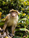 Asian monkey on the tree in sri lanka Stock Photo