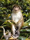 Asian monkey on the tree in sri lanka Royalty Free Stock Photography