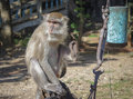 Asian monkeys Royalty Free Stock Photo