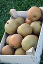 Asian nashi pears fresh fruit of in to the basket Royalty Free Stock Photography