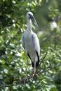 Asian Open Bill Stork Stock Photos