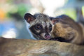 Asian palm civet produces kopi luwak animal who produce the most expensive coffee Royalty Free Stock Images
