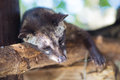 Asian palm civet produces kopi luwak animal who produce the most expensive coffee Stock Photos