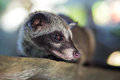 Asian palm civet produces kopi luwak animal who produce the most expensive coffee Royalty Free Stock Photo