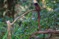 Asian paradise flycatcher perching on a branch Royalty Free Stock Photo
