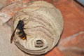 An asian predatory wasp on its nest vespa velutina hornet wasps also known as the hornet or yellow legged hornet are now Stock Images