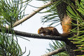 Asian red tree squirrel Stock Photography