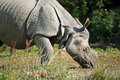Asian rhino Royalty Free Stock Image