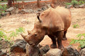 Asian Rhino Grazing In The Nat...