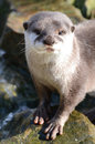 Asian Short Clawed Otter Royalty Free Stock Photos