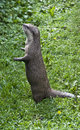 Asian short clawed otter aonyx cinerea also know as the oriental Stock Photo