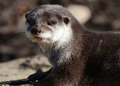 Asian Short Clawed Otter Close-up Royalty Free Stock Image