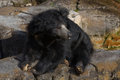 Asian sloth bear relaxing Royalty Free Stock Photo