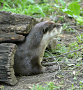 Asian small clawed otter in hollow log a cute checks out it s surroundings before emerging from a Royalty Free Stock Photo