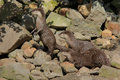 Asian small clawed otters Royalty Free Stock Images