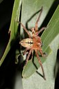 Asian  spider Royalty Free Stock Photo