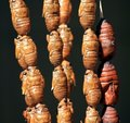 Asian street food: Deep fried silk worms Stock Photo
