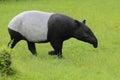 Asian tapir Royalty Free Stock Photo