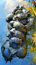 Asian terrapin turtles group of in a garden pond Royalty Free Stock Images