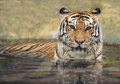 Asian tiger in the water Royalty Free Stock Photography