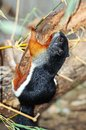 Asian tri coloured squirrel callosciurus clinging to a branch Royalty Free Stock Photography