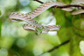 Asian Vine Snake (Ahaetulla prasina) Royalty Free Stock Photo