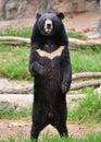 Asiatic black bear or moon ursus thibetanus Stock Images