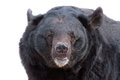Asiatic black bear portrait Royalty Free Stock Photo